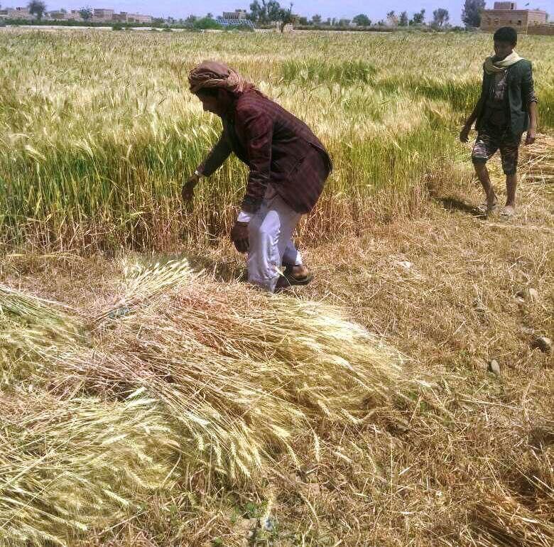 إحصائية رسمية تبين حجم تراجع المساحات والمحاصيل الزراعية في اليمن بين عامي 2014-2018م
